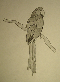 John O'Keefe's early pencil drawing of a macaw, created when he was nine years old