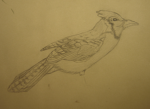 John O'Keefe's early pencil drawing of a blue-jay, created when he was nine years old