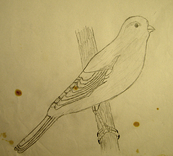 John O'Keefe's early pencil drawing of Canary, created when he was eight years old